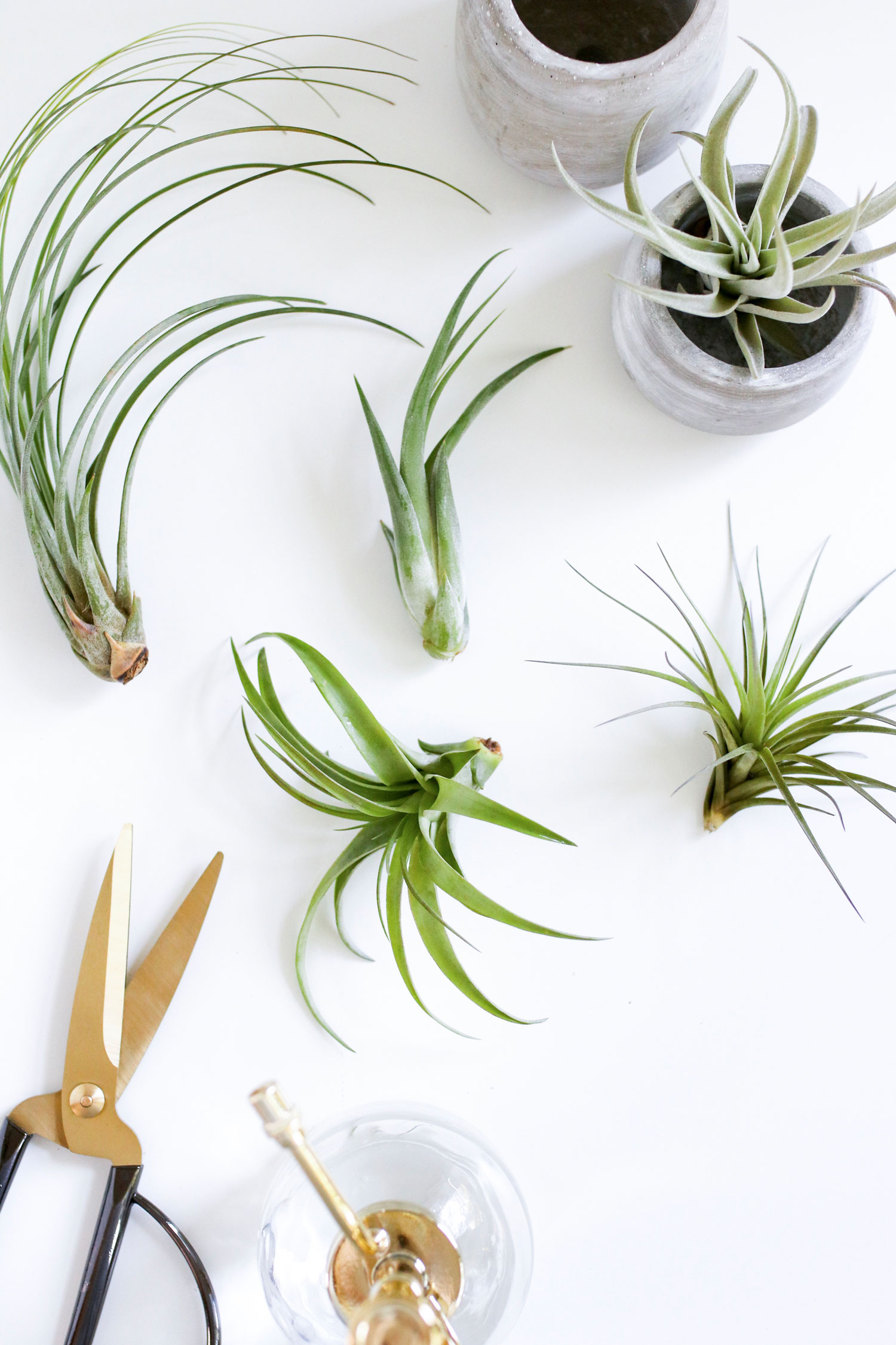 How to prune air plants