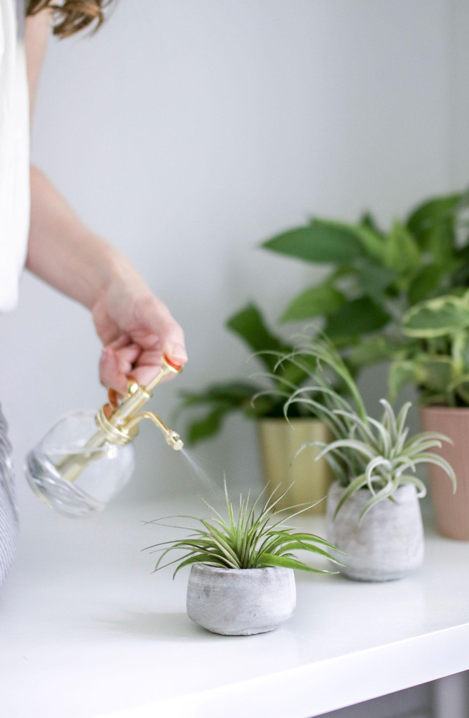 Misting an air plant